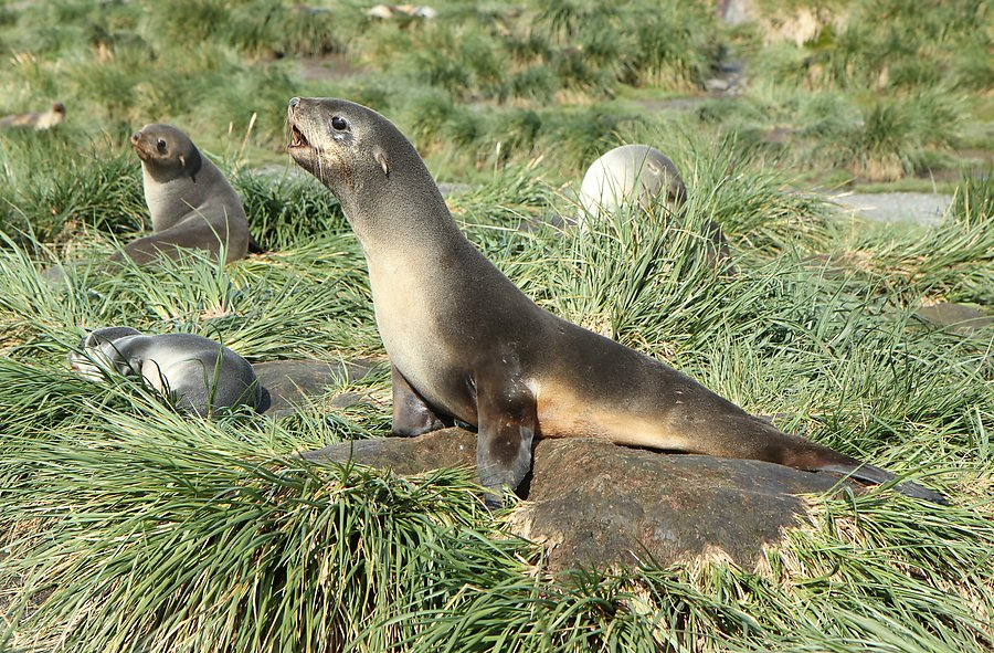 img_8779_fur_seals_on_tussock_grass_medium