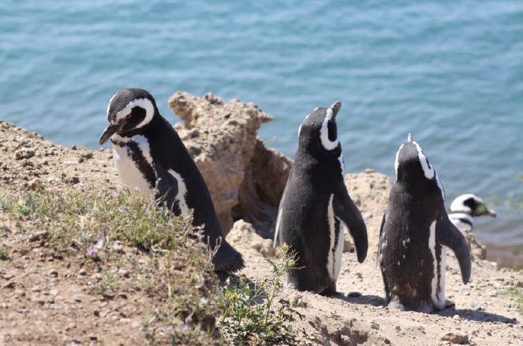 Pingviinejä Patagoniassa