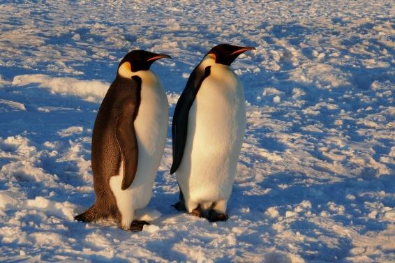 Keisaripingviinit-16