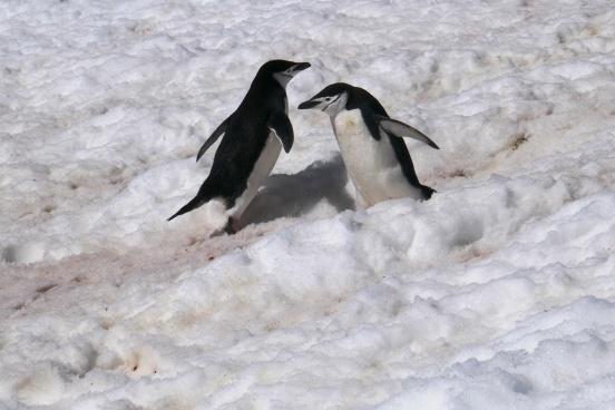 Keisaripingviinit-21